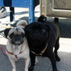 Pugs at Outerlands