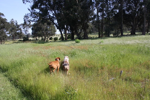 Captain & Taz in the grassy fields of Point Pinole