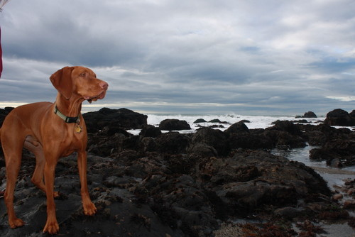 Captain the Vizsla at Carmet Beach