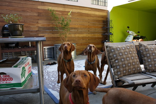 Vizslas at O'Paws