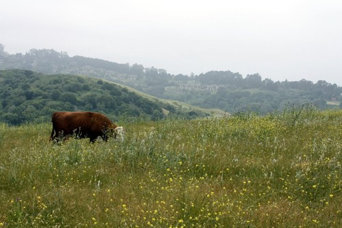 Cow at Wildcat Canyon