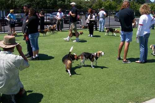 Bay Area Beagle Meetup in the small dog side of the park.