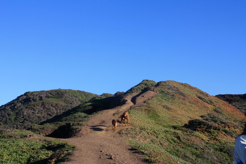 Vizsla hiking at Marin Headlands Rodeo Beach
