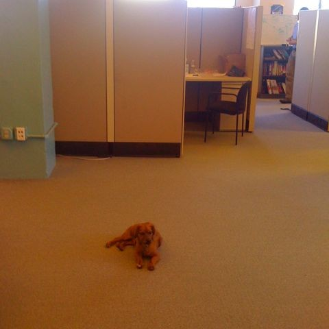 Office dog Brownie