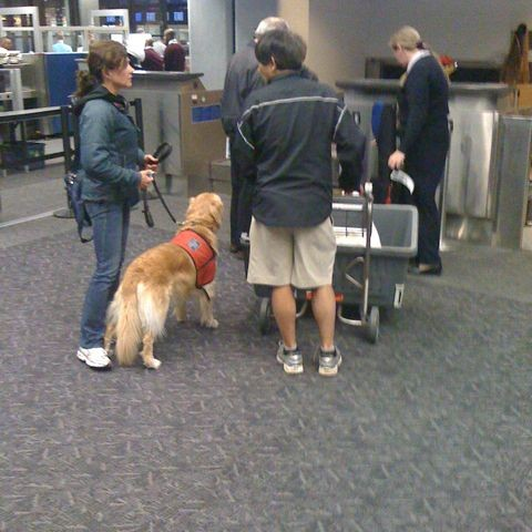 Golden Retriver at SFO