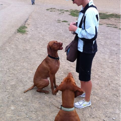 Vizslas waiting for a treat