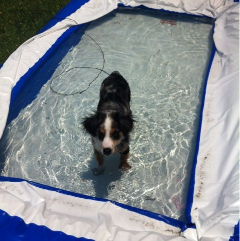 Kinohi the Mini Aussie in the pool